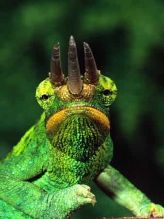 Jackson's Chameleon, Native to Eastern Africa by David Northcott