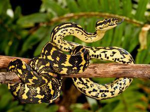Jungle Carpet Python, Morelia Spilotes Variegata, Native to Australia and New Guinea by David Northcott