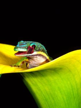 Lined Day Gecko, Native to Madagascar by David Northcott