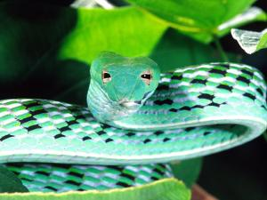 Long-nose Vine Snake, Native to SE Asia by David Northcott