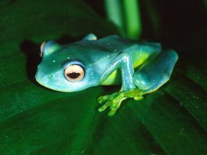 Madagascan Blue Tree Frog, Native to Madagascar by David Northcott