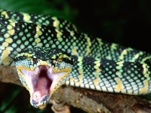 Malaysian Temple Viper, Native to Malaysia and Indonesia by David Northcott