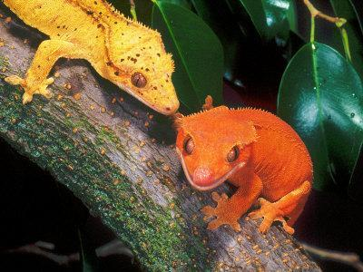 New Caledonia Crested Gecko, Native to New Caledonia
