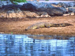 Nile Crocodile, Tanzania by David Northcott