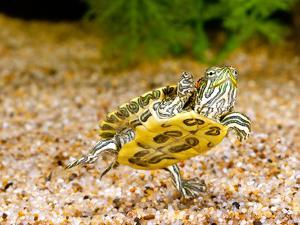 Ornate Red Ear Turtle, Chrysemys Scripta Elegans, Native to Southern Us by David Northcott