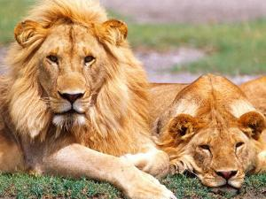 Pair of African Lions, Tanzania by David Northcott