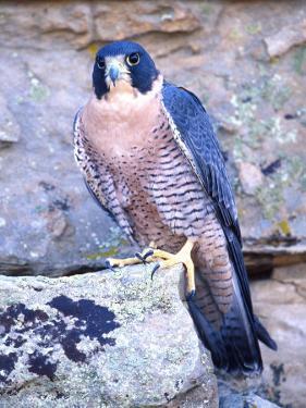 Peregrine Falcon in Flight, Native to USA by David Northcott