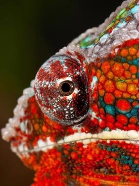 Rainbow Panther Chameleon, Fucifer Pardalis, Native to Madagascar by David Northcott