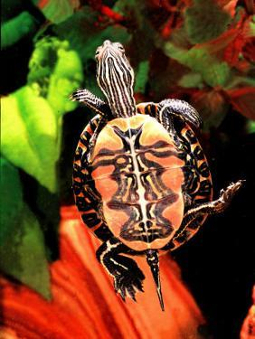 Red Belly Turtle by David Northcott