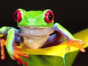 Red Eye Tree Frog on a Calla Lily, Native to Central America by David Northcott