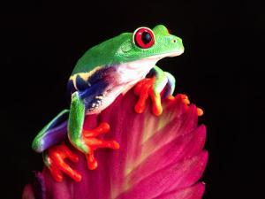 Red Eye Tree Frog on Bromeliad, Native to Central America by David Northcott