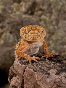 Rough Knob-Tail Gecko, Nephrurus Amyae, Native to Western Australia by David Northcott