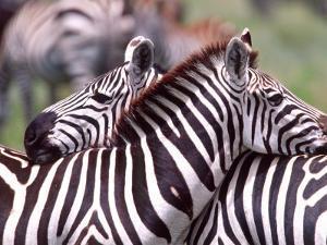 Zebras at Rest, Tanzania by David Northcott