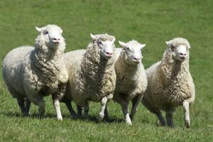 Romney Flock of Sheep, New Zealand by David Noyes