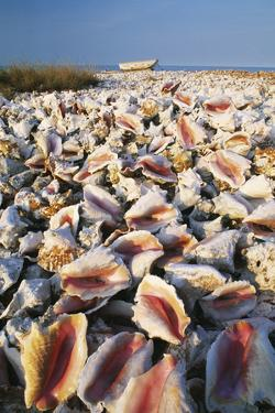 Conch Shells by David Nunuk