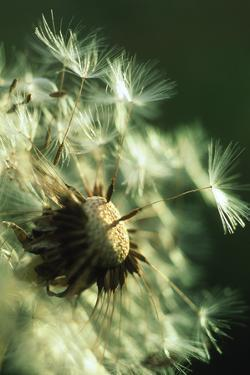 Dandelion Clock by David Nunuk