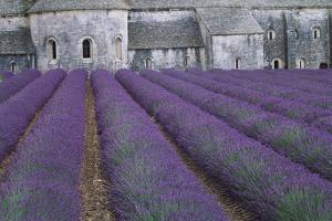 Field of Lavender by David Nunuk