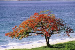Flamboyant Tree by David Nunuk
