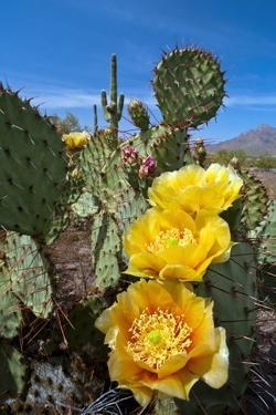 Prickly Pear Cactus Flowers by David Nunuk