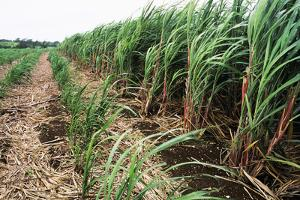 Sugar Cane Crop by David Nunuk