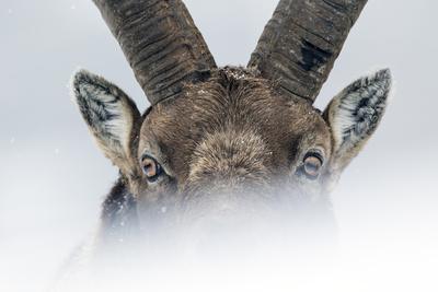 Alpine ibex close-up portrait. Gran Paradiso National Park, the Alps, Italy. January