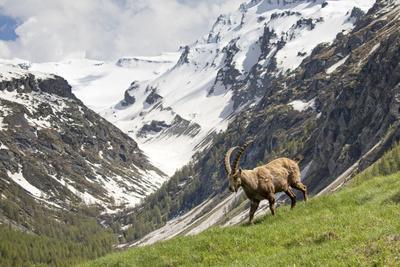 Alpine Ibex in landscape, Gran Paradiso National Park, Italy