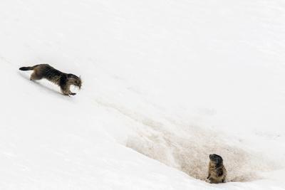 Alpine marmot carrying grass, Gran Paradiso NP, Italy