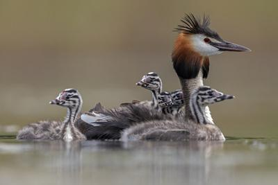 Great crested grebe with young on back, The Netherlands