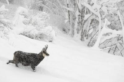 RF- Alpine chamois in winter landscape during heavy snowfall, Gran Paradiso National Park, Italy