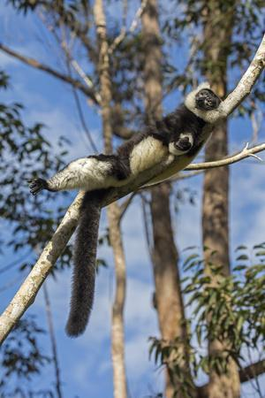 RF- Black and white ruffed lemur sunbathing in the early morning, Andasibe area, Madagascar