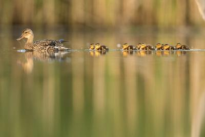 RF - Mallard female swimming with young chicks following, The Netherlands