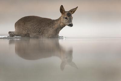 Roe deer entering pond about to swim across it. Valkenswaard, The Netherlands