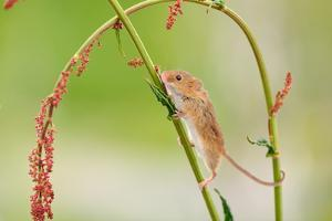 Harvest Mouse (Micromys Minutus) On Stalk, West Country Wildlife Photography Centre, Captive, June by David Pike