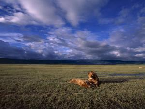 A Pair of African Lions Resting on a Savanna Under a Cloud-Filled Sky by David Pluth
