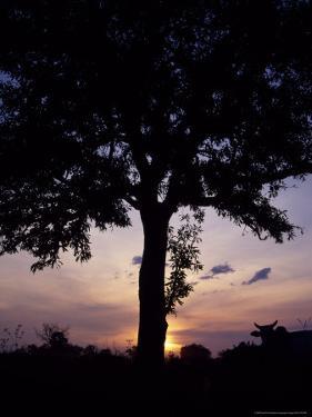 Cattle Graze Beneath a Shea Tree in Uganda by David Pluth