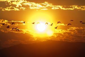 A Flock of Geese Fly at Sunrise in Boise, Idaho, USA by David R. Frazier