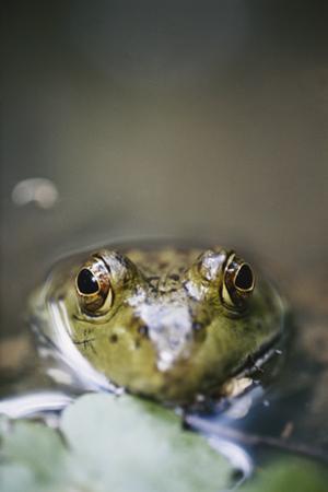 Bullfrog, Close-Up