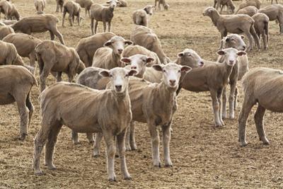 Flock of Sheep Grazing on Landscape