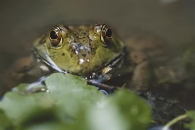 Portrait of Bullfrog, Close-Up