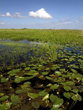Water Lilies and Sawgrass in the Florida Everglades, Florida, USA by David R. Frazier