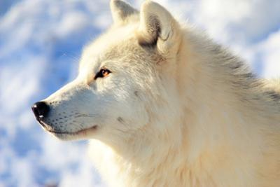 Close up of Arctic Wolf by David R. Tyner