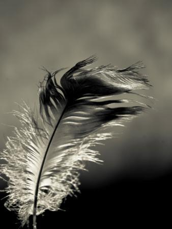 Feather by David Ridley