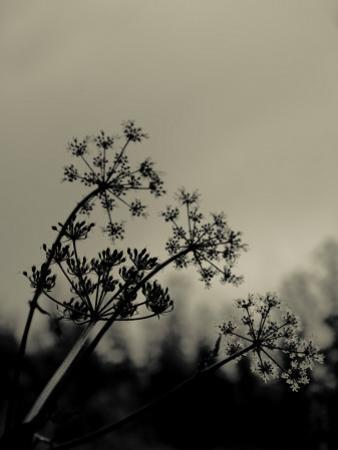 Silhouette of Cow Parsley