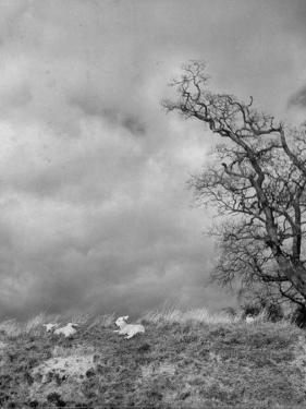 Two Little Lambs Playing in a Field by David Scherman