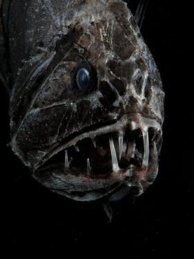 Fangtooth, Bathypelagic Fish (Anoplogaster Cornuta), Deep Sea Atlantic Ocean by David Shale