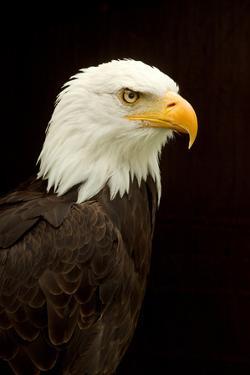 Alaska. Bald Eagle Portrait by David Slater