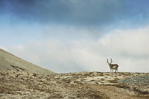 Arctic, Svalbard. Rangifer Tarandus Platyrhynchus, Male Svalbard Reindeer on Barren Tundra by David Slater