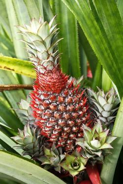 Asia, Indonesia, Sulawesi. Ananas Comosus, Edible Pineapple Fruit Grown on a Local Farm by David Slater