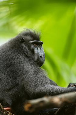 Asia, Indonesia, Sulawesi. Crested Black Macaque Adult in Rainforest by David Slater