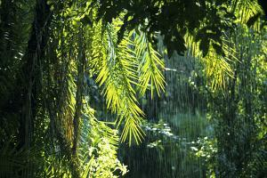 Indonesia, Sulawesi. Rain Pours Between Verdant Palm Fronds Giving Life to the Rainforest by David Slater